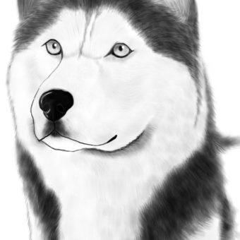 drawn-husky-siberian-husky-16-min