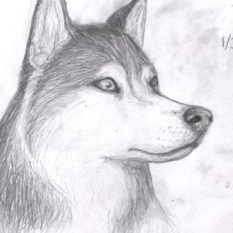 drawn-husky-wolf-413592-3819181-min